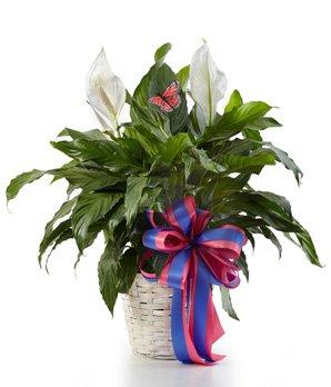 Lush Lily - Same Day Sympathy Flowers Delivery - Condolence Flowers - Funeral Flower Arrangements - Sympathy Plants - Funeral Bouquet