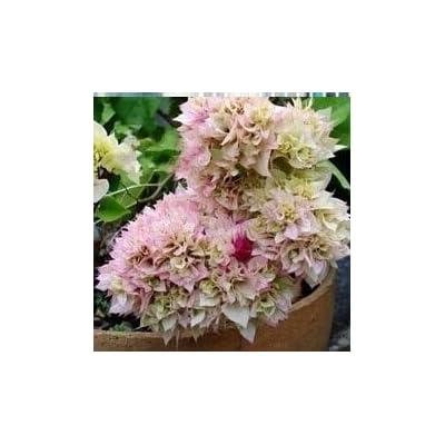 AGROBITS 20 Mix-Color Bougainvillea Spectabilis Willd Bonsai Bonsai Flower Plant Bonsai: 4: Home & Kitchen