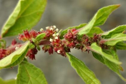 Pellitory Of The Wall Herb Cut Sifted Wildcrafted Parietaria
