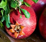 1 Bare Root of Wonderful Pomegranate Tree 6-7' (Well Branched Fruiting Size - Instant Orchard)