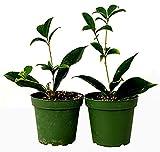 "9GreenBox - Sweet Olive Tree Osmanthus - 2 Pack of 4"" Pot"