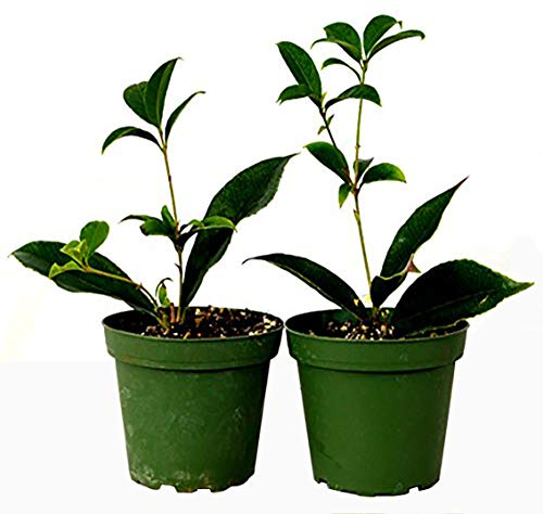 9GreenBox - Sweet Olive Tree Osmanthus - 2 Pack of 4
