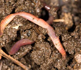 POKEBERRY BARN 500 Live Compost Worms RED WIGGLERS ()