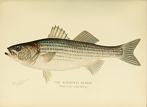 Posterazzi Commissioners of Fisheries NY 1899 Striped Bass Poster Print by S.F. Denton (18 x 24)