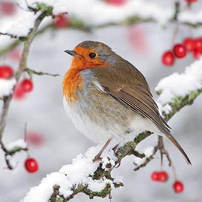 Pack of 6 Robin & Berries Charity Christmas Cards Supports Multiple Charities (Charity Christmas Cards Robin)