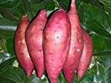 buy Giant Sweet Potato Seeds Health Anti-wrinkle Nutrition Green Vegetable Seed For Home Garden 50pcs/bag now, new 2020-2019 bestseller, review and Photo, best price $4.99