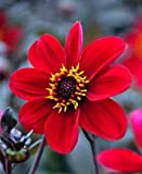 1 Bulb of Dahlia Happy Single Romeo