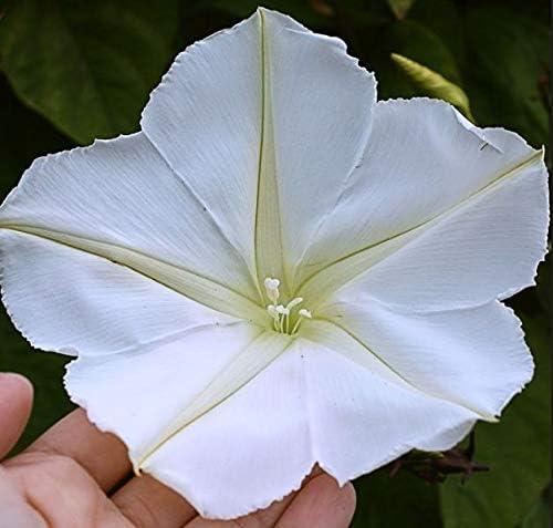 Moon Samen-Paket Seeds Huge Whites! Los von 15