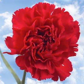 GlobalRose 100 Fresh Cut Burgundy Carnations - Romance Carnations - Fresh Flowers For Birthdays, Weddings or Anniversary. by GlobalRose (Image #2)