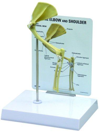Feline/Cat Elbow and Shoulder Anatomy Model #9170