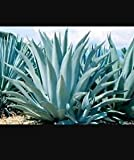 2 plants agave tequilana