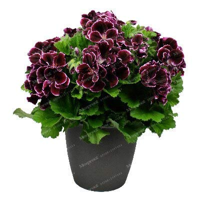 Kasuki 20Pcs/Bag Geranium Bonsai Flower Bonsai Perennial Flower Bonsai Pelargonium Peltatum Bonsai Potted Geranium for Home Garden - (Color: 13): Garden & Outdoor