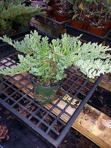 10 Plants Procumbens Nana Juniper, Bonsai Starter Plant Evergreen