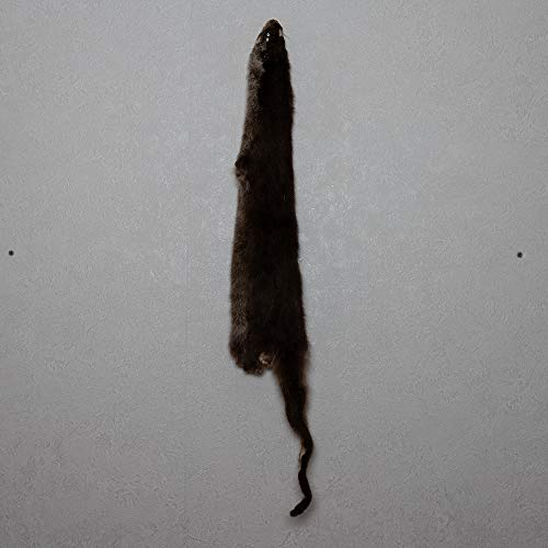 StoreTaxidermy LLC (Taxidermy Studio) River Otter Tanned Fur PELT - Skin, Hide for Sale - Real, Decor, Genuine - ST5128 ()