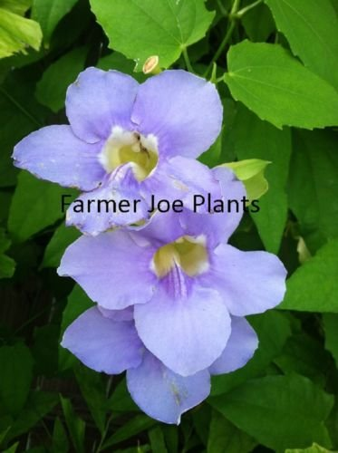 THUNBERGIA - GRANDIFLORA - BLUE SKY VINE -1 PLANT - 4.5