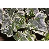 Silver Ivy Plants (Hedera Helix) in a 8.5cm Pot. English Ivy