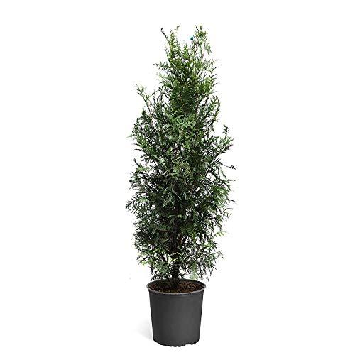 - Green Giant Arborvitae Tree ( Thuja ) - Live Plant - 3 Gallon Pot