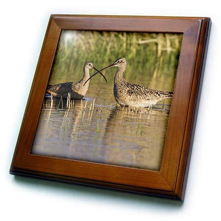 - 3dRose Danita Delimont - Birds - Long-Billed Curlew Pair - 8x8 Framed Tile (ft_313954_1)