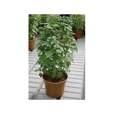 Basil Columnar 1, 000 Seeds Need More? Ask : Garden & Outdoor
