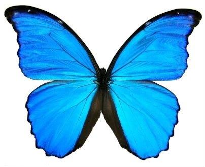 Giant Blue Morpho Didius Framed Butterfly Riker Mount (8u0026quot; ...