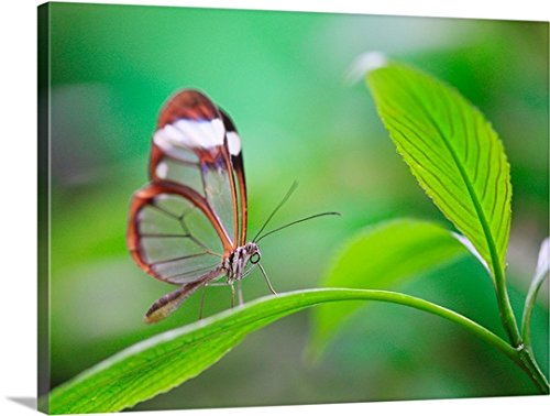 Great BIG Canvas Gallery-Wrapped Canvas entitled Glass wing butterfly relaxing on fresh green leaf by greatBIGcanvas