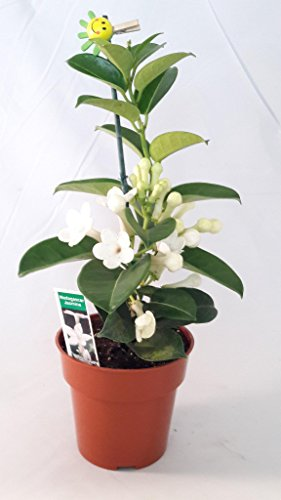 Madagascar Jasmine Plant - Stephanotis/Bridal Wreath - 4'' pot unique from Jmbamboo by JM BAMBOO
