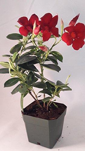 Red Brazilian Jasmine Plant 4