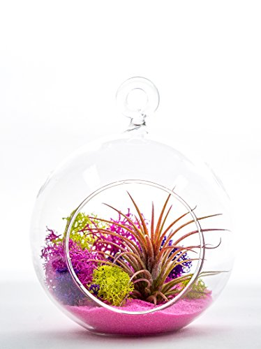 "Air Plant Terrarium Kit | Pink Joy | Natural Accents Series | Complete Tillandsia Gift Set | 4"" Glass Globe 