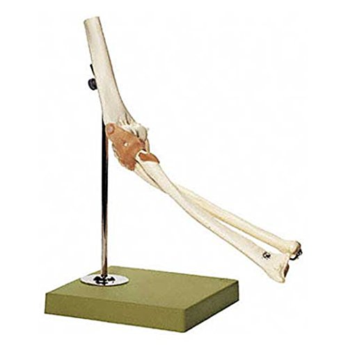 Elbow Bone Joint Fully Functional Anatomical Model SSM ()