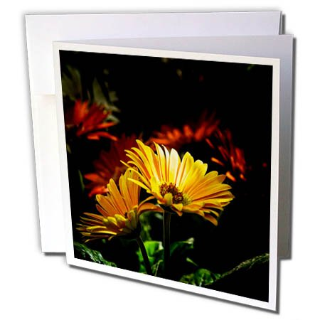 3dRose Alexis Photography - Flowers Daisy - Sunlit yellow daisy flower against the dark backdrop - 12 Greeting Cards with envelopes ()