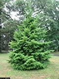 """Douglas Fir Trees - Pseudotsuga menziesii - Hardy Established Roots - 2.5"""" Potted - 3 Plant by Growers Soltuion"""