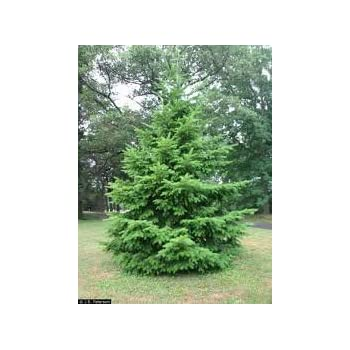 2 Fast Growing Norway Spruce Trees Garden
