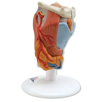 3B Scientific G22 Two-Part Larynx Model, 3.5 x 3.5 x 5.5 Inches ...