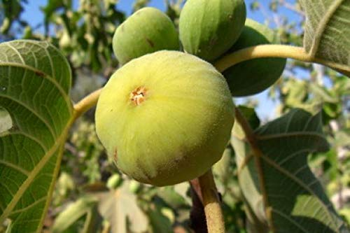Lemon Fig Tree a/k/a Blanche Italian Honey Marseilles Heritage Cannot Ship to CA, AZ, AK, HI, OR or WA PER State Laws