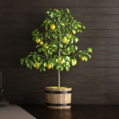 Brighter Blooms Improved Meyer Lemon Tree, up to 5 ft. tall, Get Fruit 1st Year, Dwarf Fruit Tree with Sweet Lemons, Indoor/Outdoor Live Potted Citrus Tree (Dwarf Meyer Lemon)