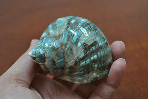 Pearl Green Jade Turbo Sea Shell Hermit Crab 2 1/2