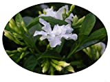 FLORIDA GARDENIA Crepe Crape Jasmine Live Semi-Tropical Plant Tabernaemontana Divaricata Flore Pleno 4 Inch Pot Emerald TM
