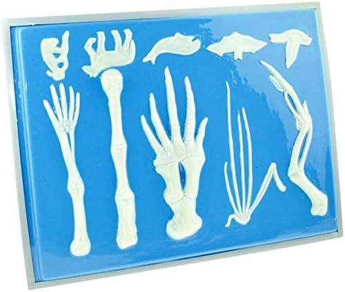 Anatomische Skeleton Model gewervelde voorpoot Bone Vergelijking Model makkelijk schoon te maken, for Anatomie Onderwijs en studeren Tool 1004