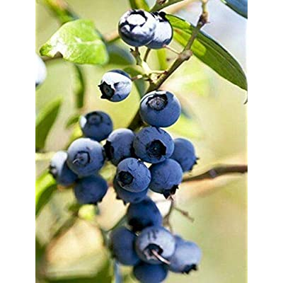 Gallon Pot - 1 Plant - Garden Blue Blueberry Bush - Hardy Perennial : Garden & Outdoor