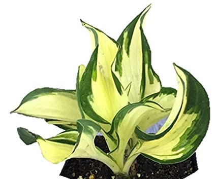 Amazoncom Loyalist Hosta Quart Potted Healthy Heavy