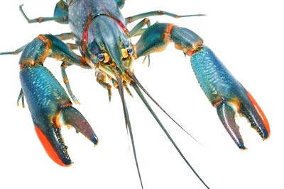 Lobster Aquarium Red - 10 Live Australian RedClaw Crayfish Up to 1 Inch, Crayfish, Lobster, Freshwater Aquarium, Aquaponics, Aquaculture