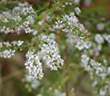 Aster lateriflorus Calico 1,000 seeds