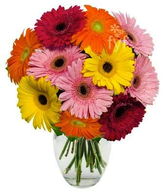 Flowers - Stunning Gerbera Daisies - 10 Stems (Free Vase Included)
