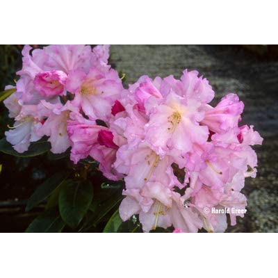 "Rhododendron Misty Moonlight - White Blooms with Muted Pink Accents - Grows Four Feet Tall (8"" to 12"" Wide Plant – Typically Two Gallon) : Garden & Outdoor"
