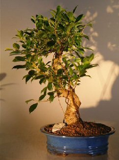 Bonsai Boy's Ficus Retusa Golden Coin Bonsai Tree Curved Trunk - Extra Large ficus - Tree Bonsai Ficus Retusa