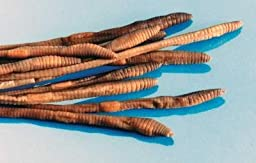 Preserved 10 inch Earthworm Plain Pack (10)