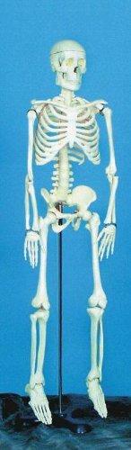 [해외]금속 스탠드, 33 높이가있는 학교 특수 데모 스켈레톤 모델/School Specialty Demonstration Skeleton Model with Metal Stand, 33  Height