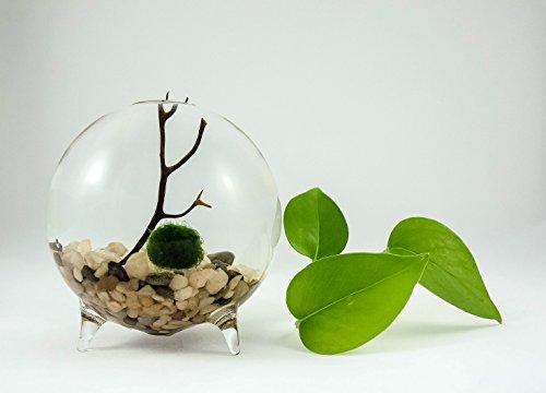 Marimo Moss Ball Terrarium Aquarium Zen Garden Globe