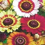 Fiore - Kings Seeds - Confezione Multicolore - Crisantemo Arcobaleno