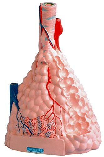 East Dental Large alveolar zoom model Breathing lung model of human organs Human teaching model